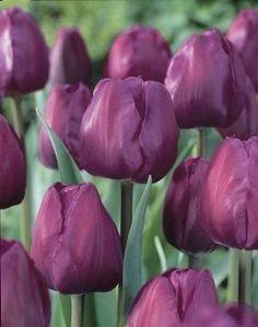 Tulipa triumph 'Negrita' Tulip from ADR Bulbs