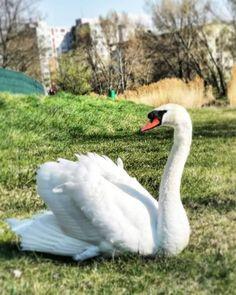Túto labuť nám poslala Renáta. Je krásna a tak pokojná. Ako keby sa chcela nechať odfotiť. Podarená fotka. Ďakujeme. ❤️ Swan, Relax, Animals, Swans, Animales, Animaux, Animal, Animais