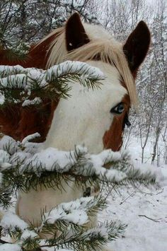 Budweiser Clydesdale playing in snow