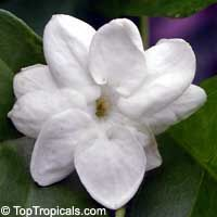 TopTropicals.com   >   	1133 Jasminum sambac Maid of Orleans - 1 gal pot for $14.95, in stock, Arabian Tea jasmine. This variety is vining and fast growing; tolerates shade.