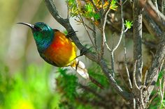 Orange-breasted sunbirds are endemic to the fynbos habitat of the Western Cape Province (South Africa), occurring in parks, reserves and private gardens. Private Garden, Wild Birds, Natural World, National Geographic, Climate Change, Old World, Habitats, South Africa, Wildlife