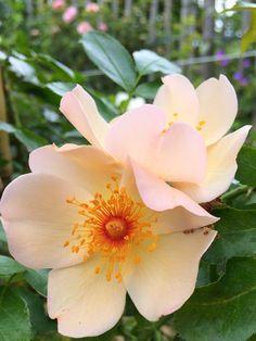 'Keith Maughan' Rose (Peter Beales Roses) www.filroses.com