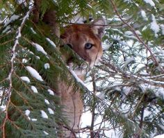 Mountain Lion(cougar,puma) is the largest feline in North America. Tend to prefer wooden areas where they can utilize cover for sneaking up on prey. Photo by Gail Goodwin near the Apgar in Glacier Nat Park,Montana.