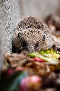 Little hedgehog in Autumn