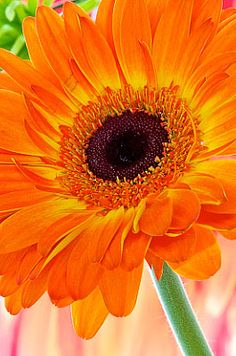 Gerbera.  Andy Small Photography