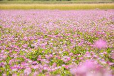 一面に咲くれんげの花