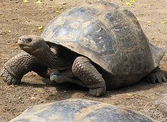 Giant Tortoise Breeding Center of the Galápagos Sulcata Tortoise, Giant Tortoise, Tortoise Turtle, Types Of Turtles, Turtle Love, Tortoises, Amphibians, Exotic Pets, Animal Photography