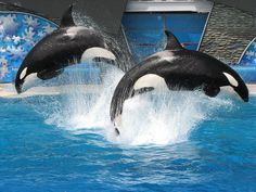Stop Sea World's greedy exploitation of the majestic ocean mammals! Conserve our oceans and sea life! Orcas, killer whales. Sad.