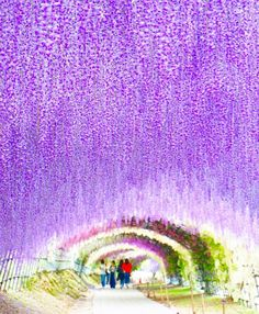 Kawachi Wisteria Garden, Fukuoka, Japan, 河内藤園, 北九州, 福岡, flower, wisteria