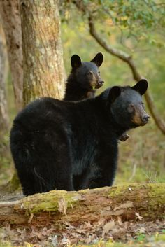 """""""Peek-a-boo"""" Black bears Cades Cove, Great Smoky Mountains National Park, Tennessee. By Charlie Choc Amazing Animals, Animals Beautiful, Majestic Animals, Bear Pictures, Animal Pictures, Baby Animals, Cute Animals, Wild Animals, Baby Pandas"""