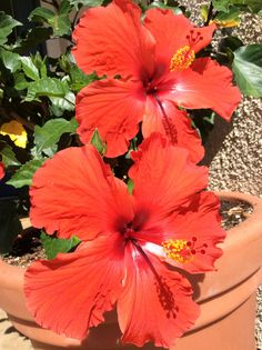#Hibiscus So in love with these flowers and tea you can make from them - https://www.pinterest.com/tararayburn/flower-power-flowers/