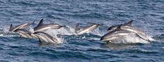 Atlantic white-sided dolphin pod