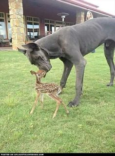 Deer and great dane