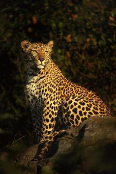 Photograph Leopard Pose by Rudi Hulshof on 500px