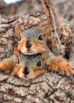 Funny Squirrel Jam Of The Day PetsLady's Pick: Funny Squirrel Jam Of The Day . The FUN site for Animal LoversPetsLady's Pick: Funny Squirrel Jam Of The Day . The FUN site for Animal Lovers Cute Squirrel, Baby Squirrel, Squirrels, Nature Animals, Animals And Pets, Wild Animals, Cute Baby Animals, Funny Animals, Tier Fotos