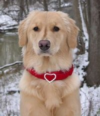 This Golden Retriever is a therapy dog. She's wearing a Red Velvet Dog Collar with a Rhinestone heart. What a great match! #goldenretriever