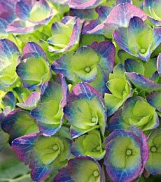 Hydrangea  - Cityline Rio   Superb! This is the first time that I have have seen these. Love this color combo.