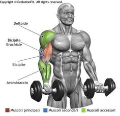 Standing Dumbbell Curl Muscle Activation