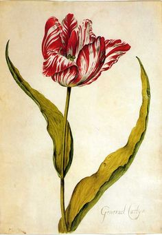 From Livre des tulipes (watercolor) by Nicolas Robert