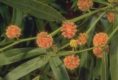 Red wattle (Scarlet Blaze)