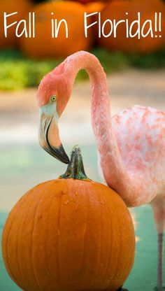 Flamingos and Pumpkins are the perfect symbol of Fall in Florida. SeaWorld Orlando offers seasonal enrichment for tropical flamingos with pumpkins! Orlando Florida Attractions, Orlando Vacation, Florida Vacation, Florida Travel, Coastal Pictures, Florida Pictures, Fall Pictures, Thanksgiving Pictures, Florida Funny