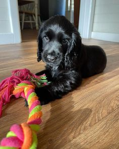 Cocker Spaniel Puppies, Dog Mom, Lily, Future, Toys, Instagram, Cute Dogs, Cocker Spaniel Pups, Activity Toys