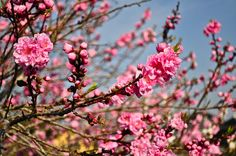 """Flowering peach blossoms. This type doesn't produce edible peaches, just great looking blossoms. I thought it was a plum tree at first. """"Momo no hana""""  桃の花 in Japanese. Nice desktop!"""