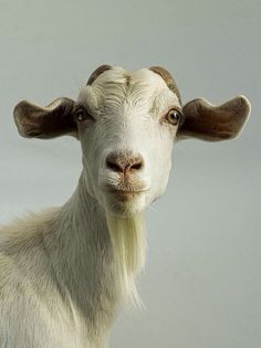 Look at this goat! How adorable is this sweet farm animal with his soft white fur and floppy ears. Goats, animals, photography.