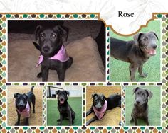 My name is Rose!. I am a young female grey lab mix.. I am very affectionate and overly happy. There is never a time when my tail isn't just-a-wagging! I party hard, but I also sleep hard. I'm just your typical puppy who wants to be loved. Cuddles are my favorite activity other than playing. I love to be outdoors and I love all the other doggies I have met while on walks and at the park.  Come visit me at the Adoption Center 5533 Weslayan Houston, Tx 77005