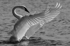 swan wing display