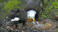 Baby Bald Eagle, Chats Image, New Baby Products, Birds, Christian, Bald Eagles, Animals, Tigers, Conversation
