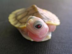 Oh, my god. Super tiny baby pink turtle.