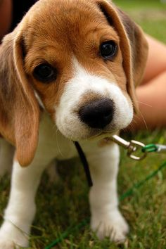 Beagles are such cute puppies.