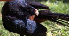 """A degradação da Mata Atlântica nordestina e a caça ilegal causaram a extinção da natureza do mutum-do-Nordeste (""""Mitu mitu"""") - segundo dados do ICMBio, só 120 espécimes puras estavam em cativeiro em 2005"""