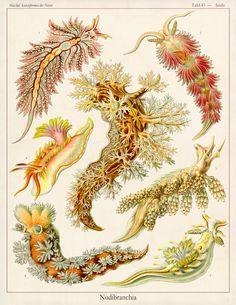 Vintage Ernst Haeckel Plate 43