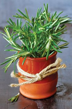 Rosemary is a perennial evergreen shrub with blue flowers. It is a pungent and distinctive plant with a sweet, resinous flavor. Rosemary is ideal for a rock garden or the top of a dry wall. It is used for poultry, lamb, stews, and soups. Rosemary grows to about 4 feet tall and spreads about 4 feet as well.