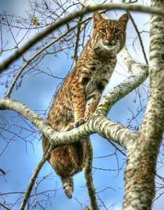 ~~Treetop Bobcat by Myrna Bradshaw~~