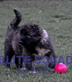 Caucasian Shepherd puppies for SALE- India - ELITE SQUAD KENNEL www.EliteSquadKennel.com #EliteSquadKennel