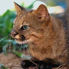 Pampas cat, Colocolo