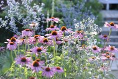 REMINDER: sørg for, at omkringstående vækster ikke vokser ind over planten i det tidligere forår. Det varer nemlig lidt, før purpursolhattens løv titter frem, og hvis pladsen inden da bliver optaget, risikerer man, at den ikke kan nå op i solen med det resultat, at den dør.