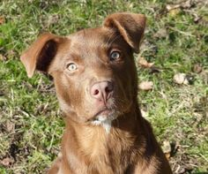 03/03/16 - Charlie Brown is an adoptable Labrador Retriever Dog in Nacogdoches, TX As the pictures show, Charlie Brown's green eyes look especially beautiful with his shiny copp ... ...Read more about me on @petfinder.com