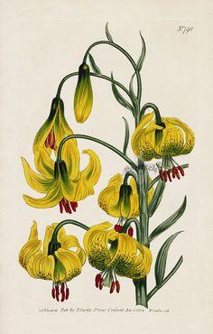 William Curtis Botanical Magazine Antique Prints 1787-1839 Pompone Lilly