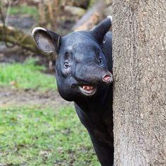Výsledek obrázku pro tapirus kabomani