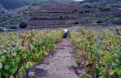 Ycoden Daute Isora espera que la cosecha supere el millón de kilos de uva http://www.vinetur.com/2013062612729/ycoden-daute-isora-espera-que-la-cosecha-supere-el-millon-de-kilos-de-uva.html