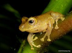 https://flic.kr/p/Gzwu2W | Watchful Rainfrog, Pristimantis nyctophylax | from Ecuador: www.flickr.com/andreaskay/albums