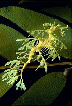El dragón del mar, el caballito con forma de alga