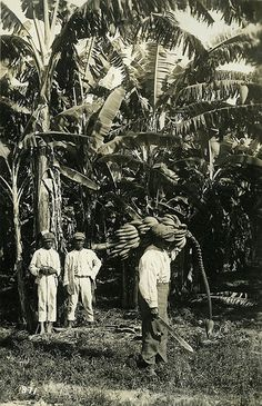 Banana Plantation, Jamaica