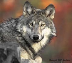 Wolf-glory ... I know they are controversial out West, but I still love 'em. ~ melodee new onto signs