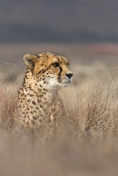 """Cheetah in the Grass - """"Under control"""" by Selda Photography"""