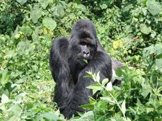 If you have ever had the chance to see him, you will never forget. Kabirizi is the least habituated Mountain Gorilla Silverback in the Mikeno Sector, and the leader of over 30 individuals. He has the largest family by far in the sector, with lots of babies and infants.